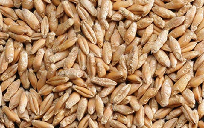 triticale grains kosher organic non gmo ardent mills